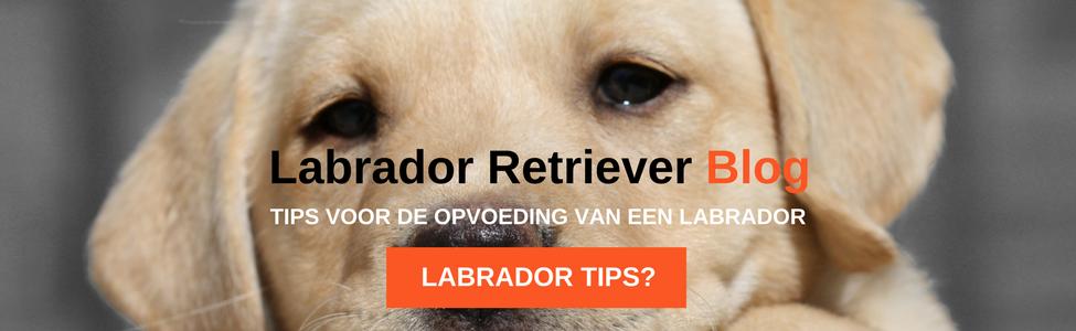Labrador Retriever Blog